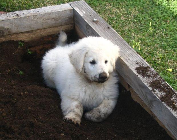 Kuvasz Puppy Starts Spring Planting Kuvasz Fanciers Of America Inc